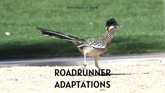 Roadrunner Adaptations – How do they Survive?