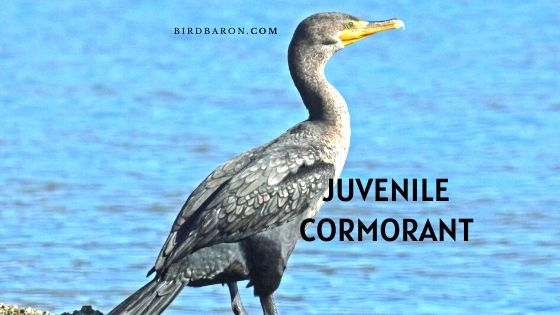 Juvenile Cormorant Bird – Profile | Facts | Description