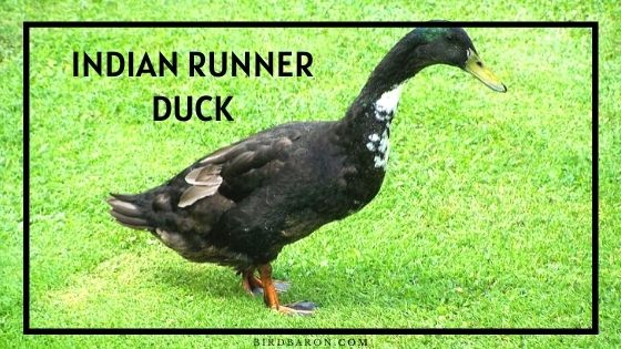 Indian Runner Duck – Eggs   Colors   Lifespan   Care