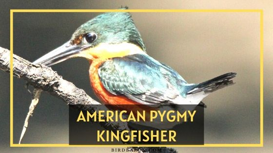 American Pygmy Kingfisher Bird – Profile | Traits | Facts