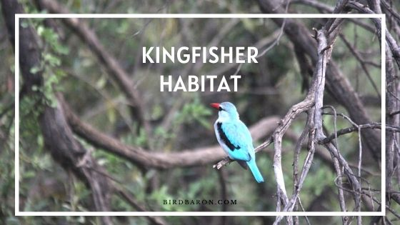 Kingfisher Habitat – Where Do Kingfishers Live?
