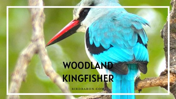 Woodland Kingfisher Bird – Profile | Facts | Song | Call