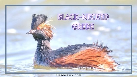 Black-necked Grebe Bird – Profile | Facts | Migration