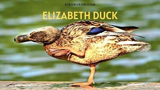 Elizabeth Duck – Profile | Eggs | Size | Farming | Care | Feeding