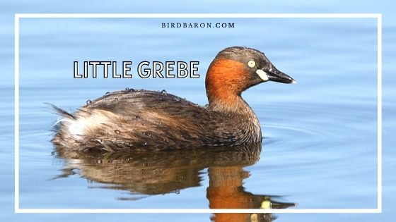 Little Grebe Bird – Facts | Profile | Call | Chick