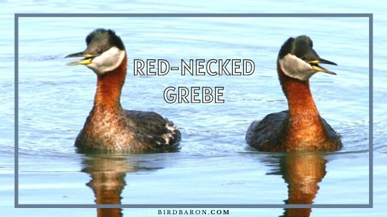 Red-necked Grebe – Profile | Facts | Lifespan | Eggs