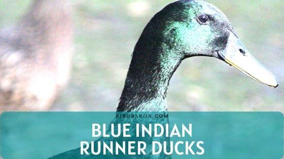 Blue Indian Runner Ducks – Production | Care | Diet
