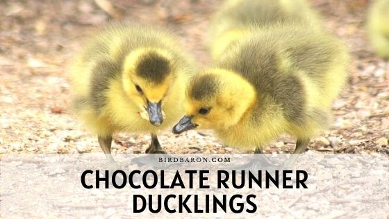 Chocolate Indian Runner Ducklings – Profile | Care
