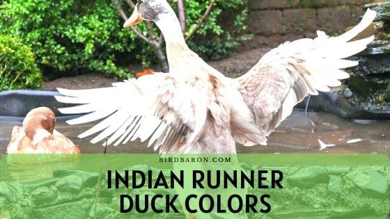 Indian Runner Duck – Colors | Description | Care | Health