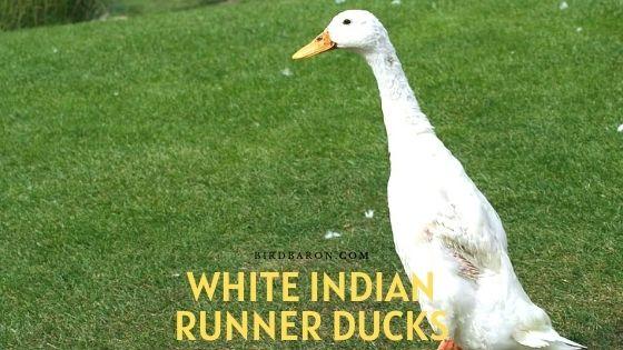 White Indian Runner Ducks – Eggs | Care | Description