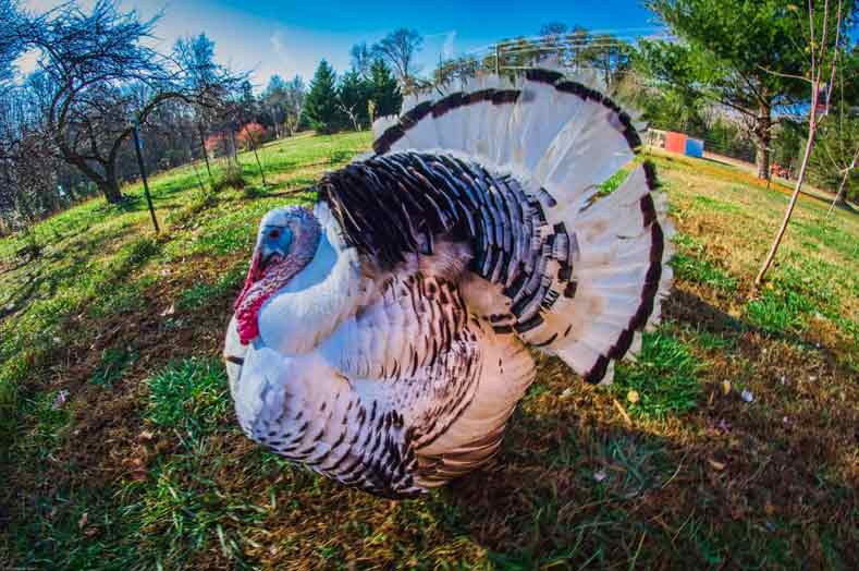 Royal Palm Turkey – Profile F acts | Chicks | Poults | Eggs | Care