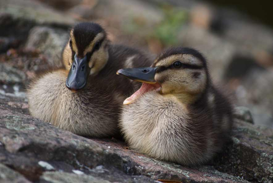 Rouen Ducklings – Male vs Female | Week By Week | Care