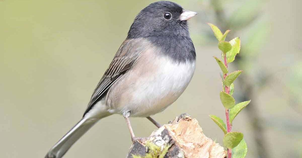 Dark-eyed Junco – Song | Facts | Diet | Nest | Range | Habitat