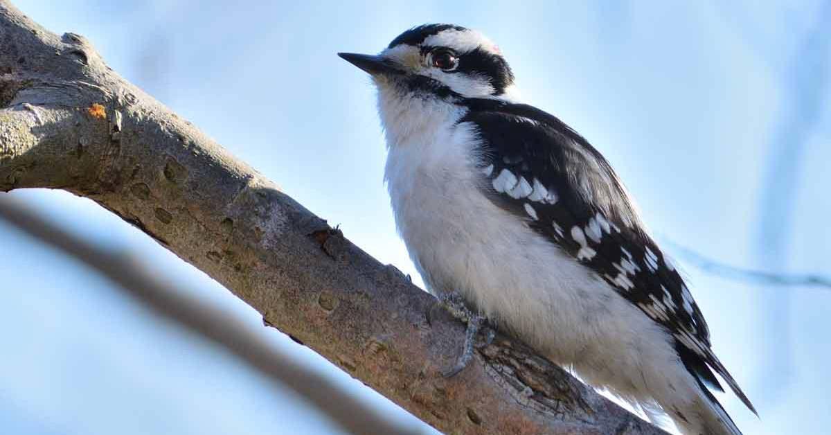 Downy Woodpecker – Sound | Female | Nest | Habitat | Feather