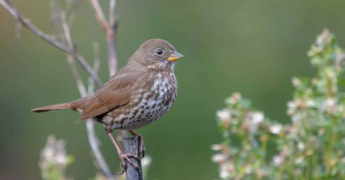 Fox Sparrow – Profile | Facts | Habitat | Habit | Call | Color | Breeding