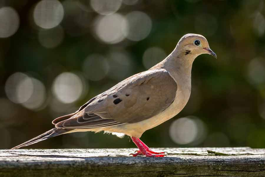 Mourning Dove – Call | Nest | facts | Feathers | Habitat | Lifespan