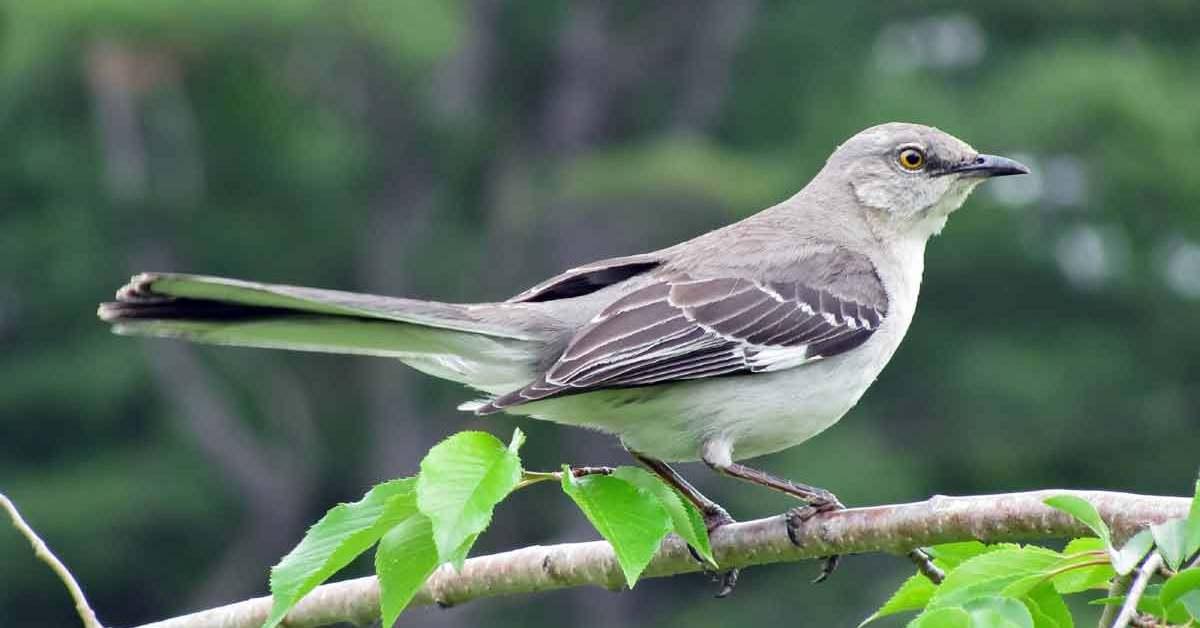 Northern Mockingbird – Call | Facts | Sound | Diet | Range | Song