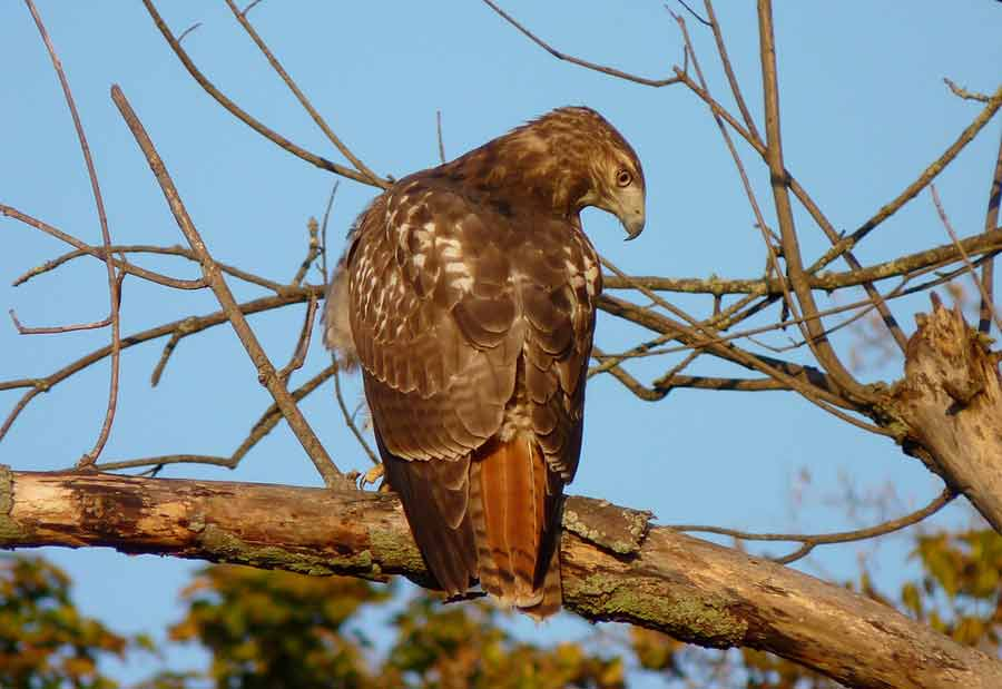 Red-Tailed Hawk – Size | Facts | Diet | Habitat | Call | Sound