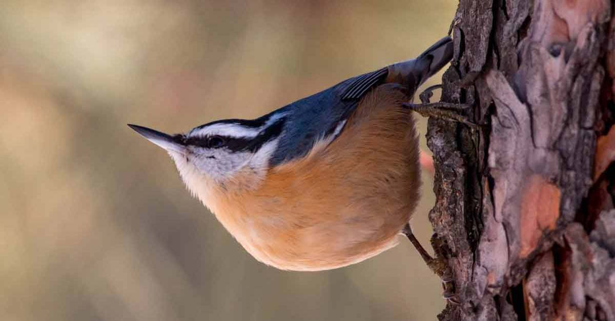Red-breasted Nuthatch – Sounds | Facts | Diet | Habitat | Range