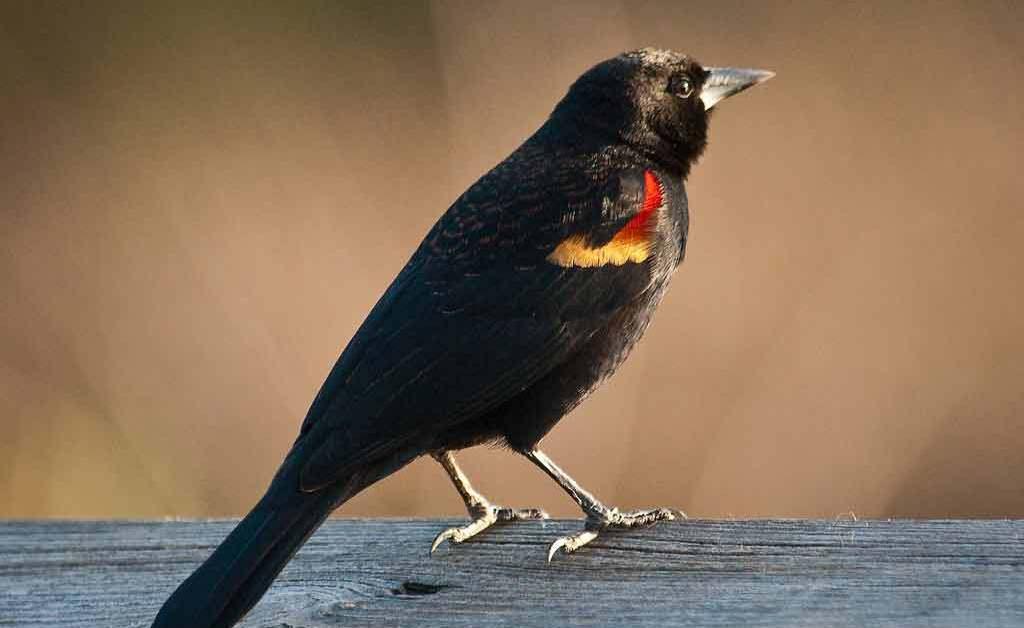 Red-winged Blackbird – Sound | Facts | Habitat | Migration | Nest