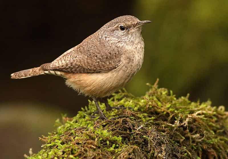 Rock Wren – Facts | Song | Call | Habitat | Tail | Diet | Nest