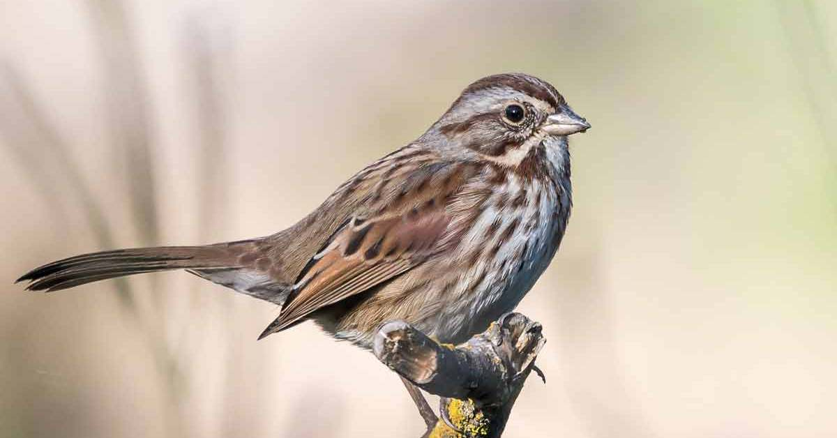 Song Sparrow – Nest | Habitat | Food | Call | Facts | Migration
