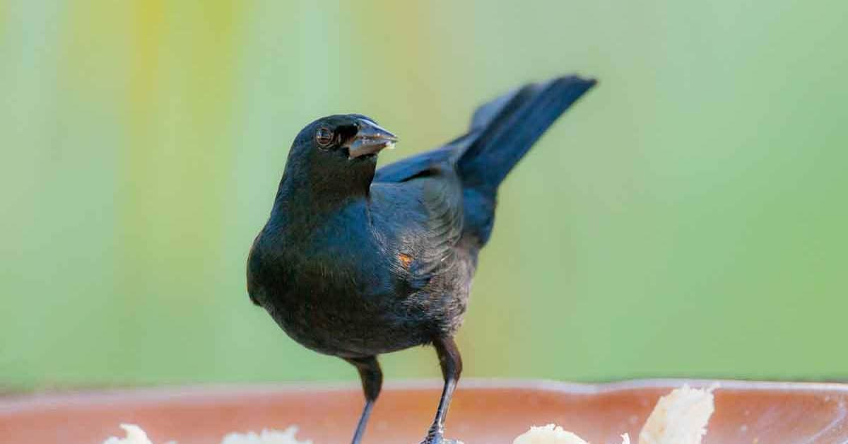Tawny-shouldered Blackbird – Call | Habitat | Range | Diet | Weight