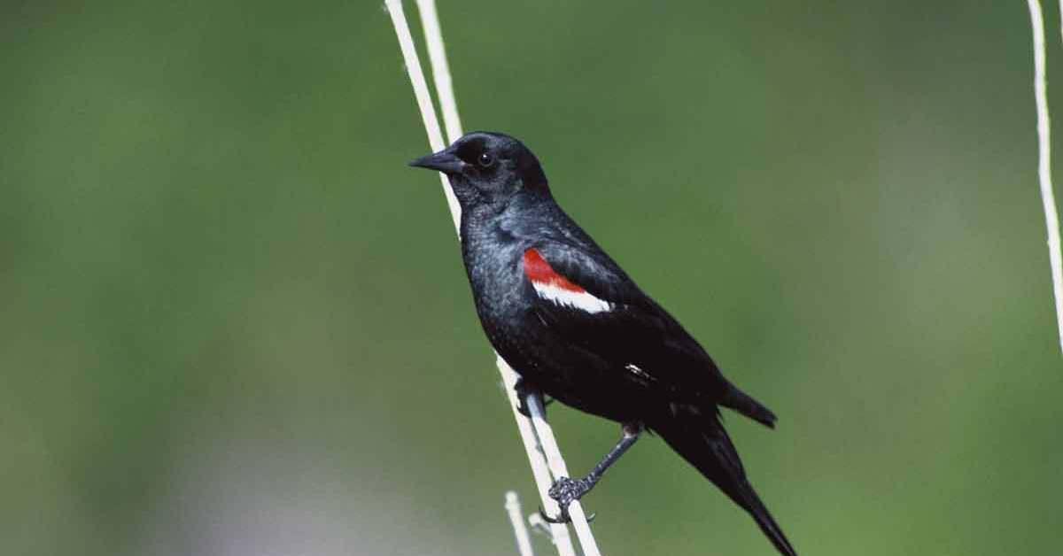 Tricolored Blackbird – Call | Habitat | Range | Endangered | Nesting