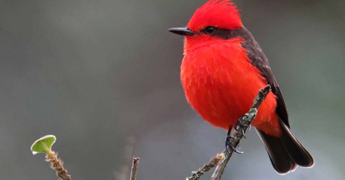 Vermilion Flycatcher – Facts | Call | Song | Habitat | Migration