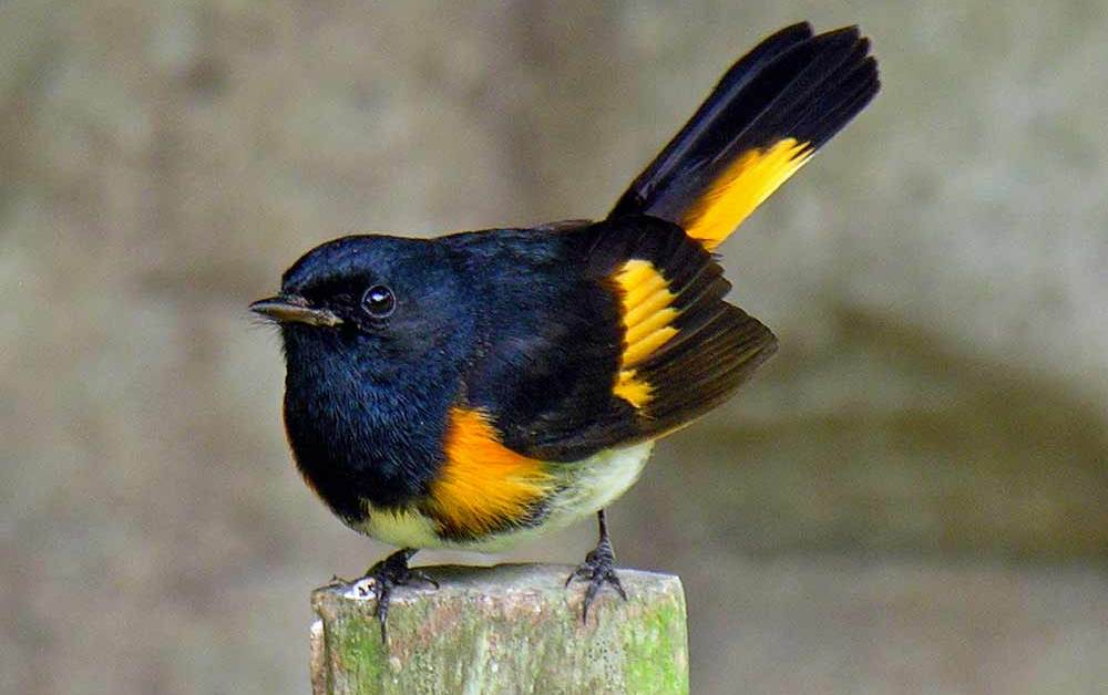 American Redstart – Profile | Facts | Female | Eggs | Traits | Nest