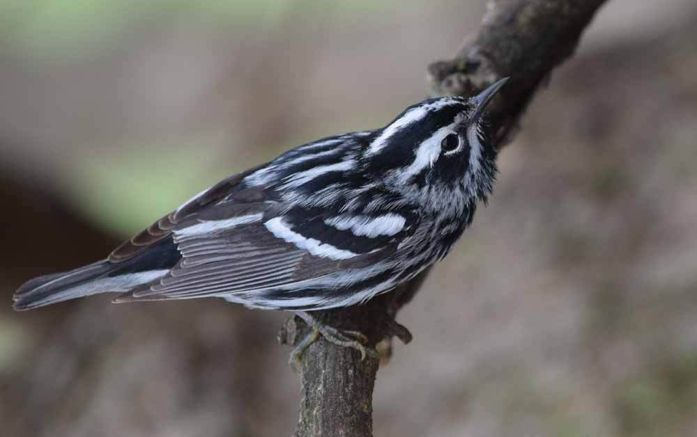 Black-and-White Warbler – Profile | Fly | Egg | Song | Traits | Nest