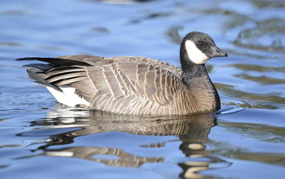Cackling Goose – Profile | Facts | Habitat | Fly | Egg | Migration