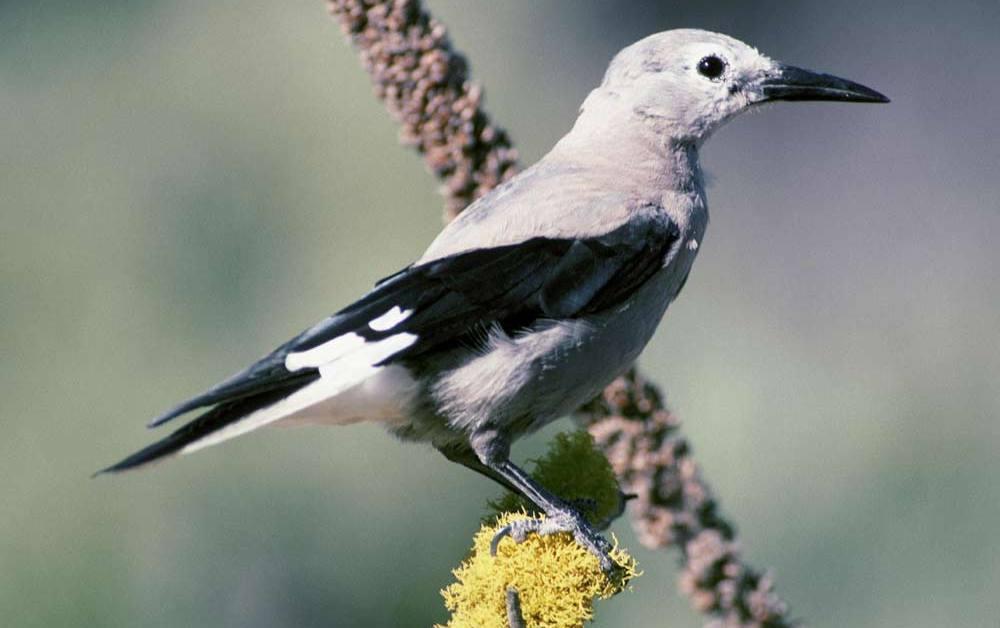 Clark's Nutcracker – Profile | Facts | Habitat | Pouch | Nest | Fly