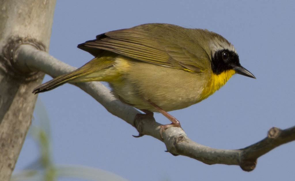 Female Common Yellowthroat – Profile | Facts | Song | Traits