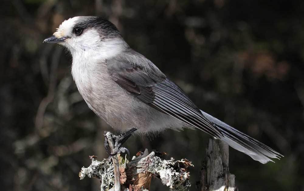 Gray Jay Bird – Canada Jay – Profile | Facts | Nest | Traits | Fly