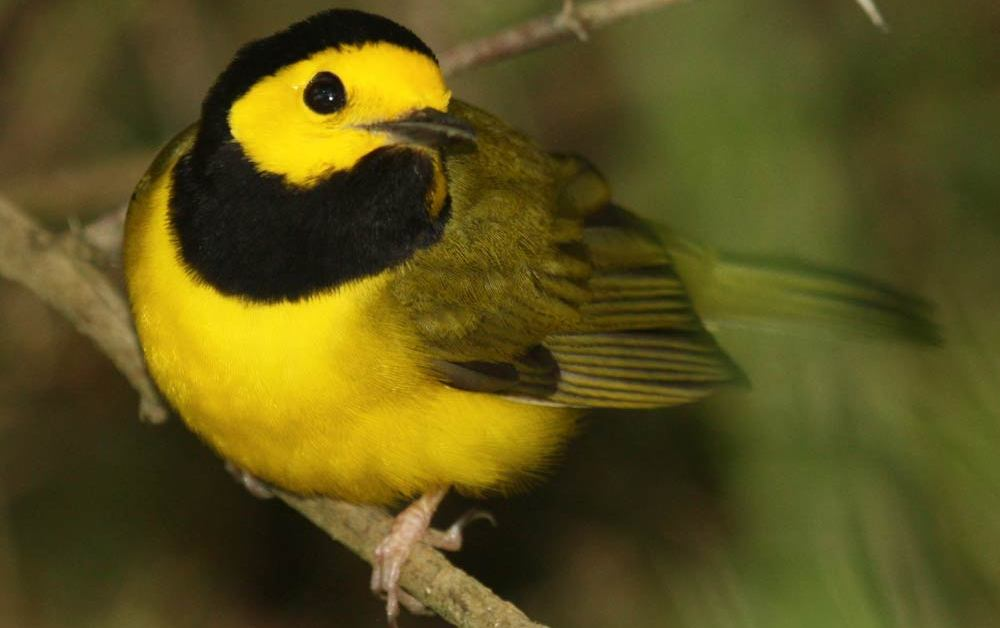 Hooded Warbler – Profile | Facts | Female | Nest | Traits | Range