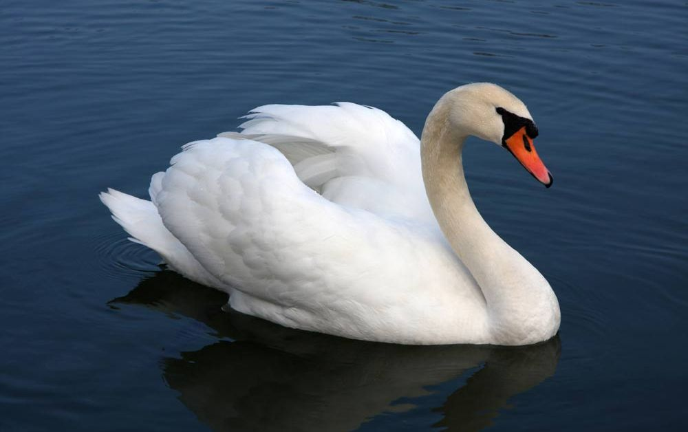 Mute Swan – Profile | Facts | Habitat | Egg | Traits | Range