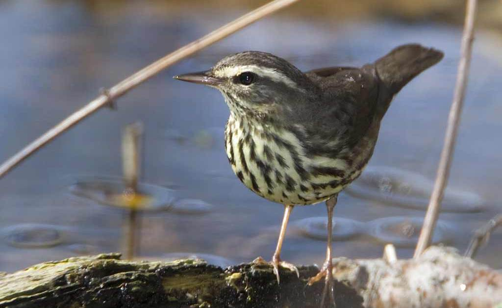 Northern Waterthrush – Profile | Female | Song | Traits | Range