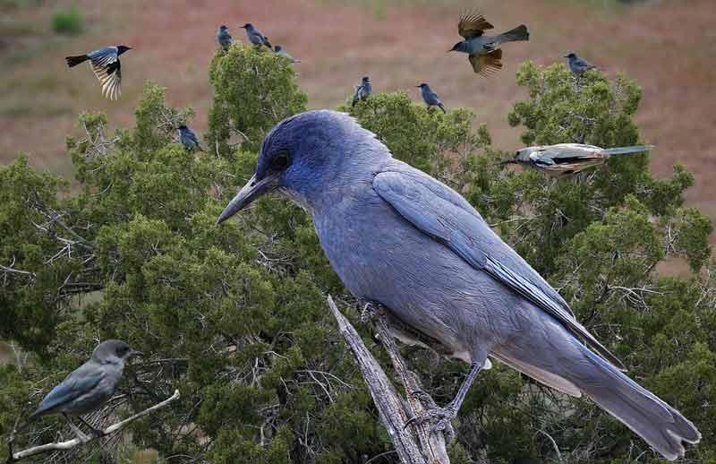 Pinyon Jay Bird – Profile | Call | Flock | Range | Traits | Facts