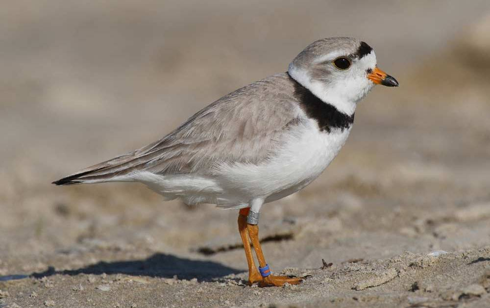 Piping Plover – Profile | Facts | Nest | Habitat | Traits | Eggs
