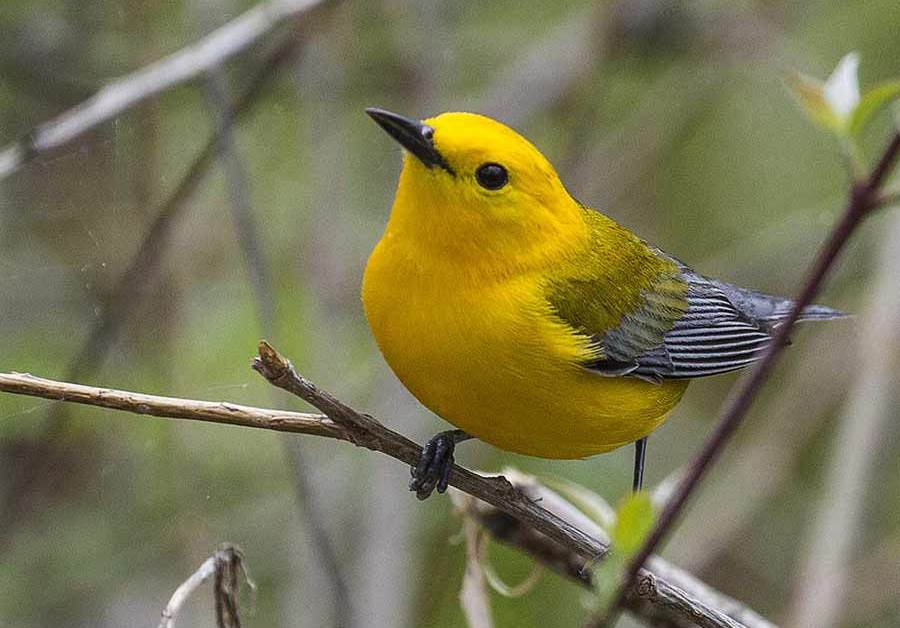 Prothonotary Warbler – Profile | Facts | Female | Nest | Traits