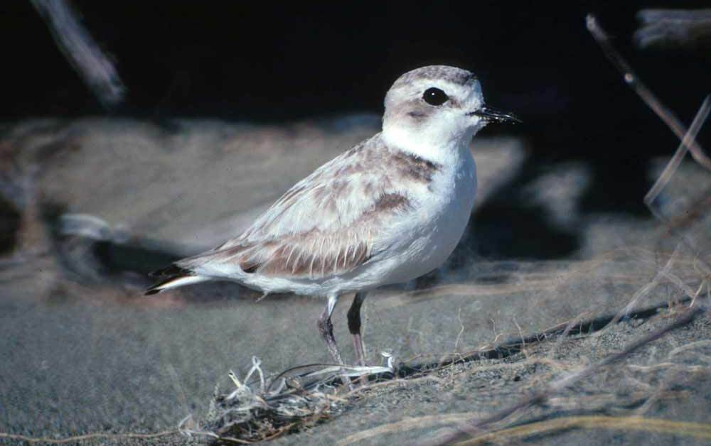 Snowy Plover Bird – Profile | Facts | Habitat | Range | Traits