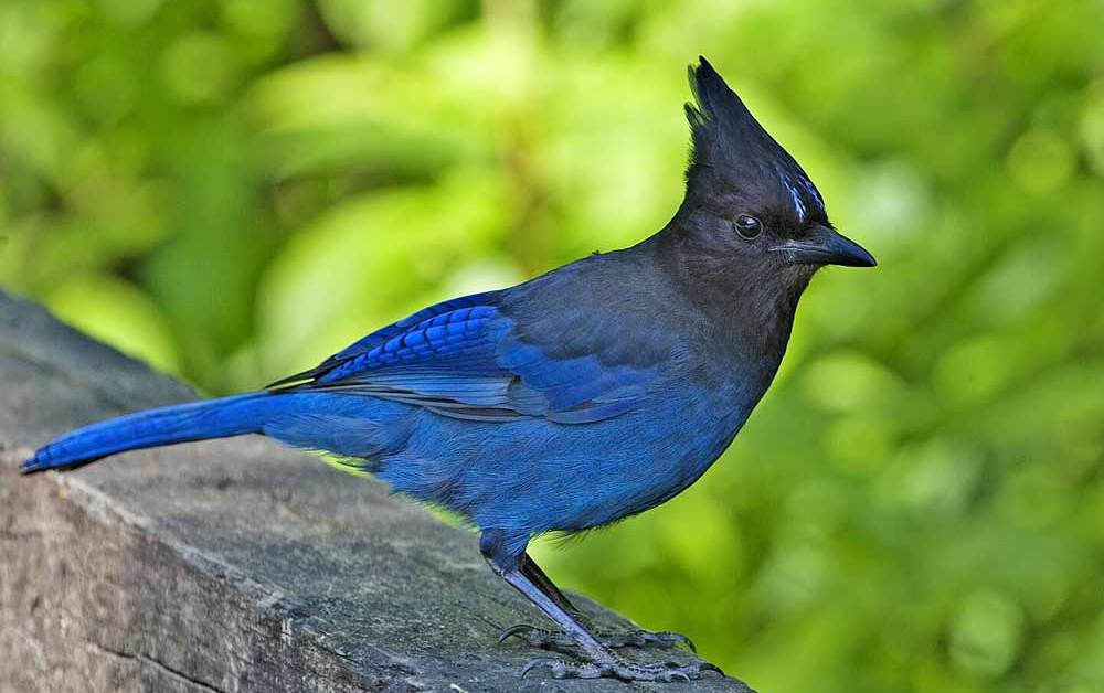 Steller's Jay – Profile | Fly | Facts | Range | Feather | Traits | Eggs