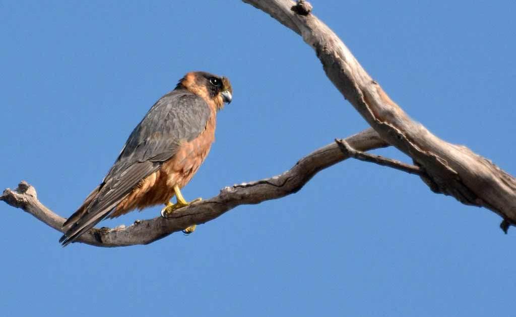Australian Hobby – Profile | Traits | Voice | Habitat | Breeding