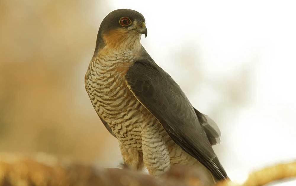 Brown Goshawk – Profile | Traits | Diet | Habitat | Breeding