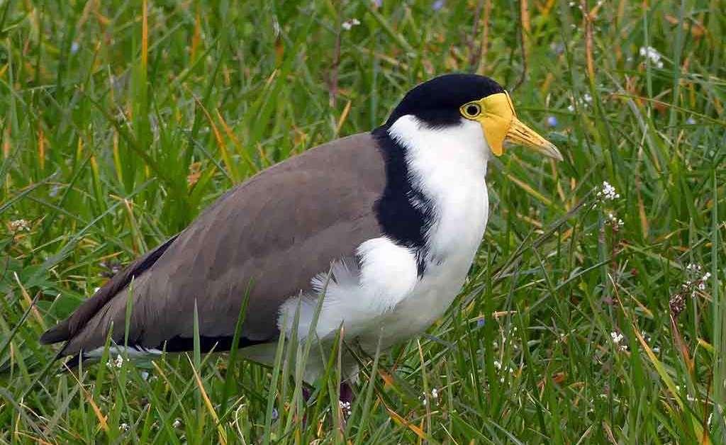 Masked Lapwing – Profile | Traits | Facts | Habitat | Breeding