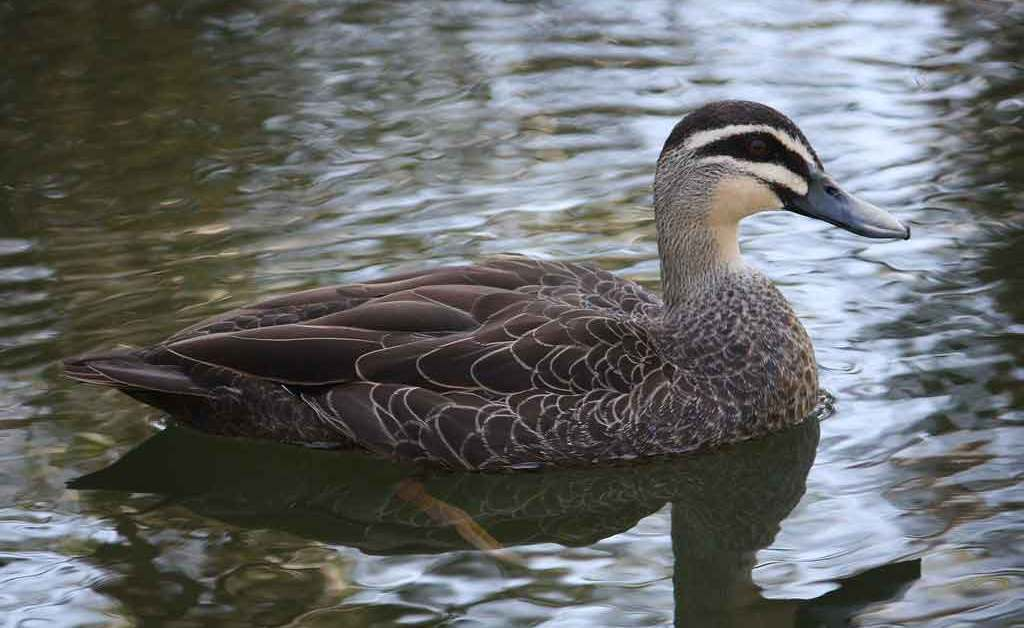 Pacific Black Duck – Profile | Traits | Facts | Habitat | Breeding