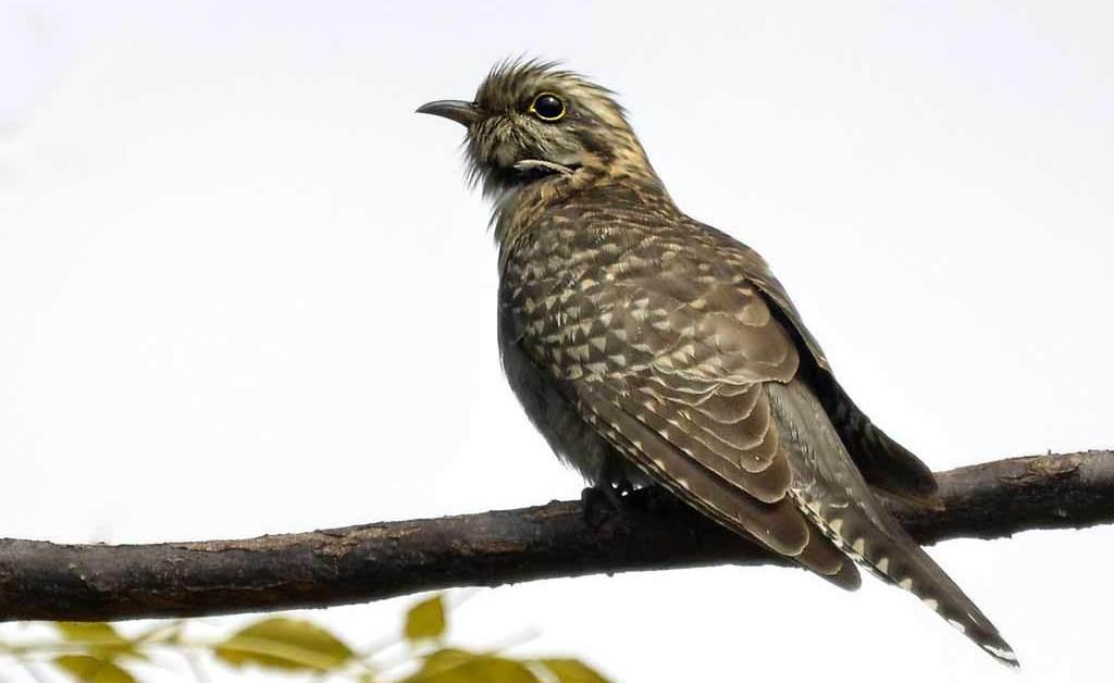 Pallid Cuckoo – Profile | Traits | Facts | Call | Diet | Breeding