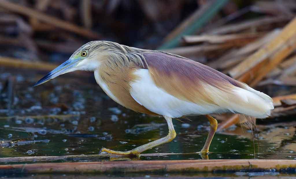 Squacco Heron – Profile | Traits | Facts | Habitat | Breeding
