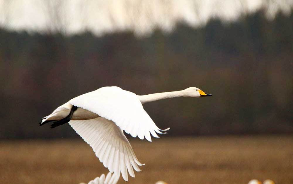 Whooper Swan – Profile | Traits | Facts | Range | Diet | Breeding